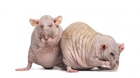 Two Hairless Rats (2 years old)