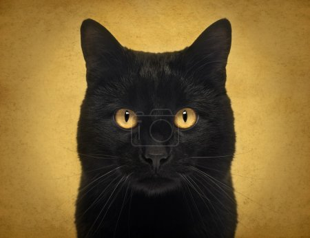 Close-up of a Black Cat looking at the camera, on orange backgro