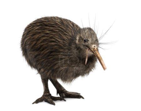 North Island Brown Kiwi eating an Earthworm Aptery...