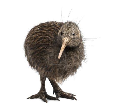 North Island Brown Kiwi, Apteryx mantelli...