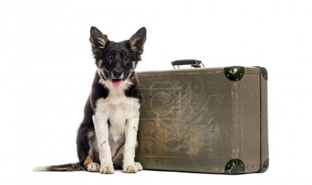 Border collie sitting next to an old suitcase