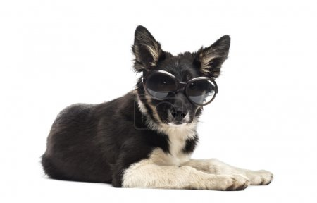 Border collie lying and wearing sunglasses