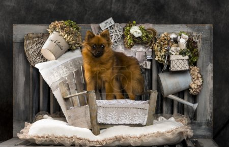 Spitz in front of a rustic background