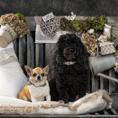 Chihuahua and poodle in front of a rustic background