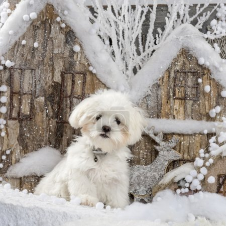 Maltese in front of a Christmas scenery
