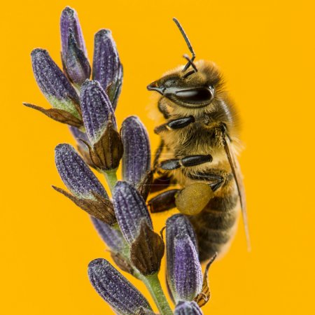 Honey bee foraging on a lavander in front of an orange backgroun