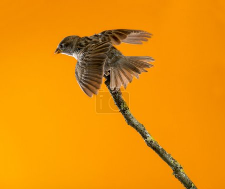 House Sparrow, Passer domesticus, perched on a branch in front o