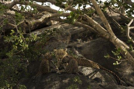 Leoprad and her cubs resting on rocks, Serengeti, Tanzania, Afri