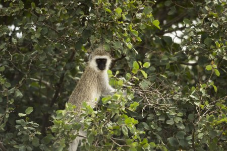 Vervet monkey, Chlorocebus pygerythrus, in a tree, Serengeti, Ta
