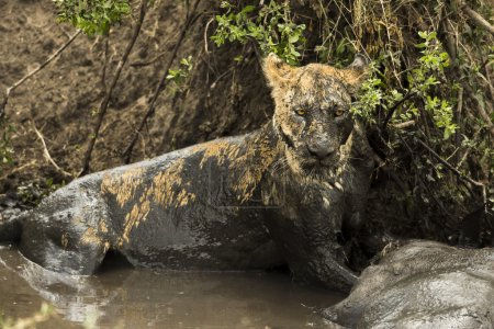 Lioness lying next to its prey in a muddy river, Serengeti, Tanz