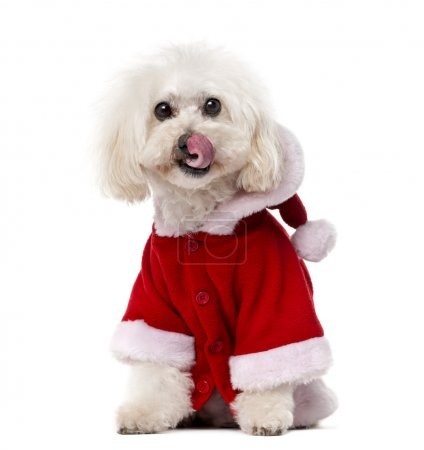 Poodle wearing a Santa coat (11 years old) in front of a white b