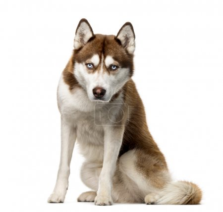 Siberian Husky (2 years old) in front of a white background