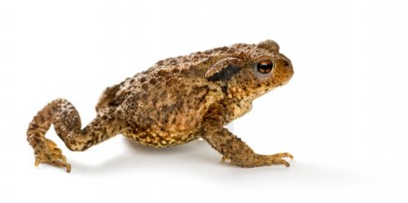 European toad, bufo bufo, in front of a white back...