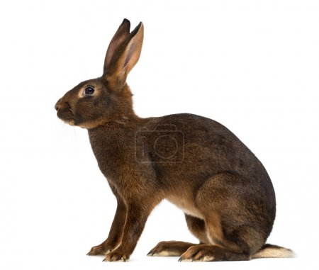 Photo for Belgian Hare in front of a white background - Royalty Free Image
