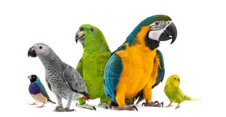 Photo pour Goup de perroquets devant un fond blanc - image libre de droit