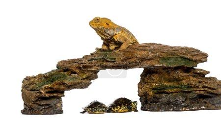Bartagame auf einem Felsen liegend mit zwei Schildkröten darunter