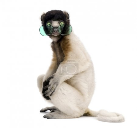 Portrait of Young Crowned Sifaka wearing glasses, Propithecus Co