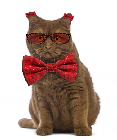 British Shorthair wearing glasses and a bow tie in front of whit