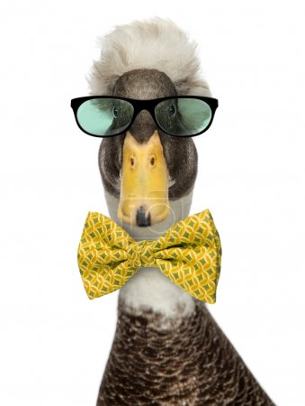 Close-up of a Male Crested Ducks wearing glasses a...