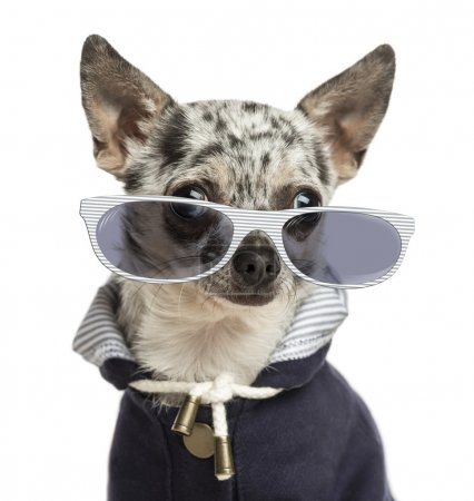 Close-up of a dressed-up Chihuahua wearing glasses, isolated on