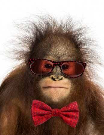 Close-up of a young Bornean orangutan wearing glasses and a bow