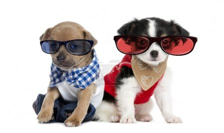 Dressed-up Chihuahua puppies sitting and wearing glasses, 3 mont