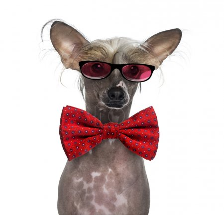Hairless Chinese crested dog wearing glasses and a bow tie