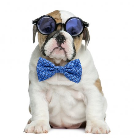 English bulldog puppy wearing glasses and a bow tie in front of
