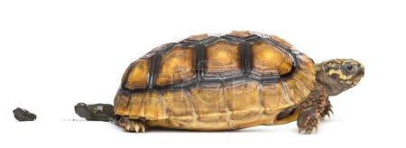 Red-footed tortoises (2 years old), Chelonoidis ca...