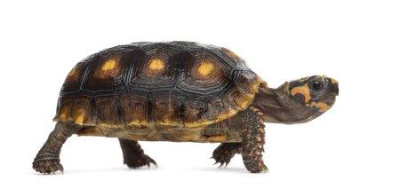 Red-footed tortoises (1,5 years old), Chelonoidis ...