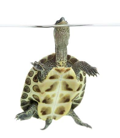 European pond turtle (1 year old), Emys orbicularis, floating in