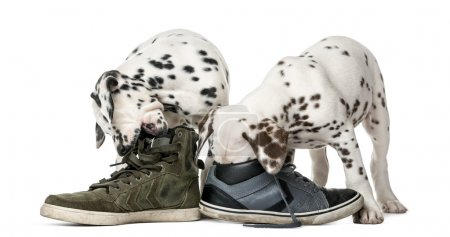 Two Dalmatian puppies chewing shoes in front of a white backgrou