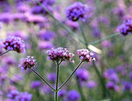 Purple flowers in the meadow in sunlight