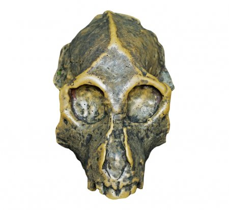The skull of Dryopithecus ancient ape onwhite background