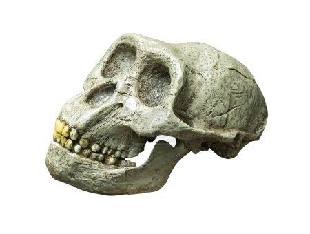 The skull of Australopithecus africanus from Africa