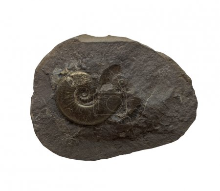 The Ammonites fossiles  on a whte background