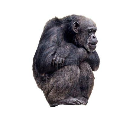 Photo pour Chimpanzé assis sur fond blanc, isolat - image libre de droit