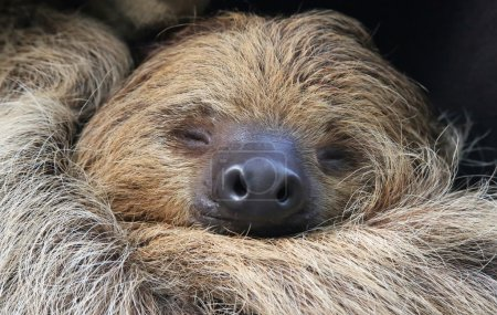 Photo pour Vue rapprochée d'une paresseuse à deux doigts (Choloepus didactylus ) - image libre de droit