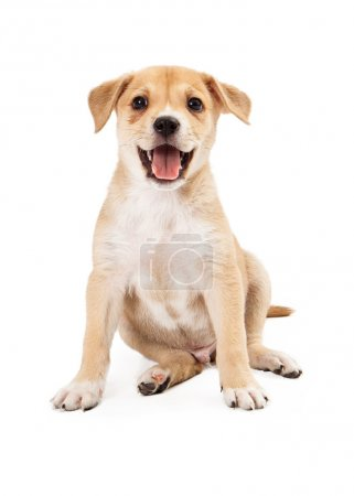 A cute and happy Shepherd and Labrador mixed breed puppy sitting with an open mouth smiling isolated on white background
