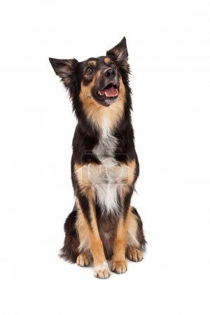 Happy Border Collie Crossbreed Looking Up