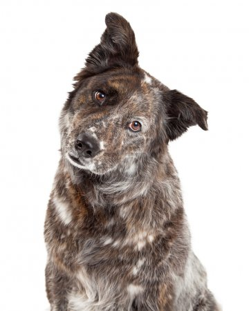 Photo pour Very curious Australian Shepherd Mix Breed Dog tilts head while looking into the camera. Isolated on white background - image libre de droit