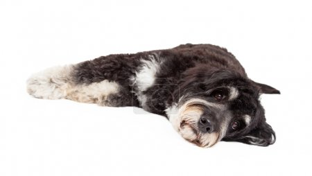 Photo for A cute Poodle Mix Breed Dog laying on his side with his head down on the ground. Isolated on white background - Royalty Free Image