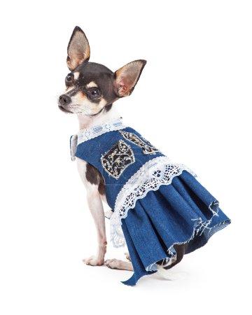 Fashionable Chihuahua Dog Wearing A Beautiful Blue Dress