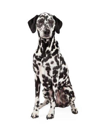 Gorgeous Dalmatian Dog Sitting