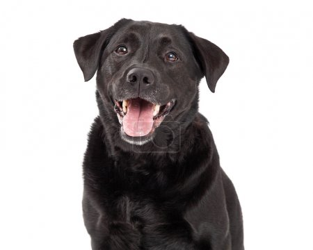 Happy Labrador Retriever Dog Head Shot