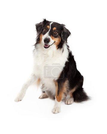 Playful Australian Shepherd Dog