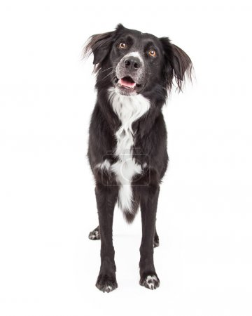 Curious Border Collie Mix Breed Dog Standing