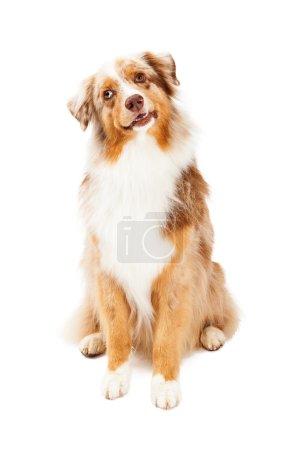 Curious Australian Shepherd Dog Sitting