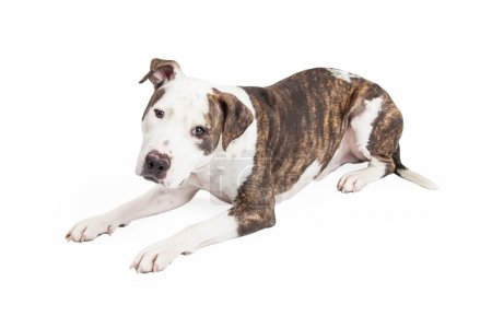 American Staffordshire Terrier Cross Dog
