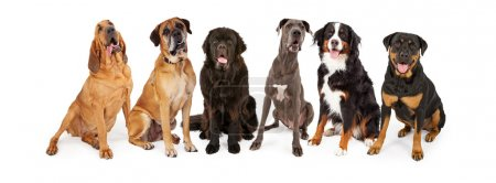 Group of giant breed dogs sitting in a row...